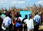 Kenyans Being Intoduced to GM Corn